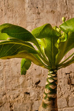 Load image into Gallery viewer, Brighamia Insignis