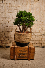 Load image into Gallery viewer, Crassula Hobbit (Local Delivery or Click & Collect Only)