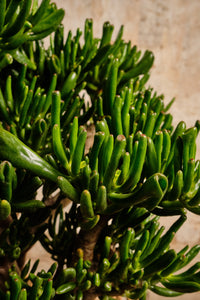 Crassula Hobbit (Local Delivery or Click & Collect Only)