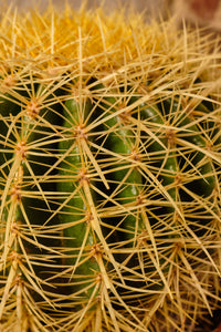 Echinocactus Grusonii (Local Delivery or Click & Collect Only)