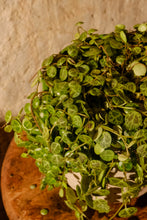 Load image into Gallery viewer, Peperomia Prostrata