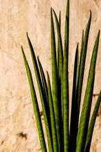 Load image into Gallery viewer, Sansevieria Mikado