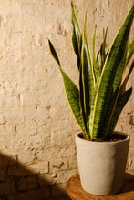 Load image into Gallery viewer, Sansevieria Trifasciata 'Laurentii'