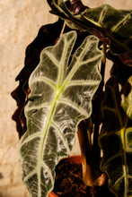 Load image into Gallery viewer, Alocasia