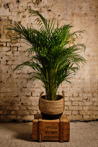 Areca Palm (Local Delivery or Click & Collect Only)