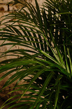 Load image into Gallery viewer, Areca Palm (Local Delivery or Click & Collect Only)