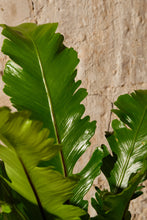 Load image into Gallery viewer, Asplenium Nidus 'Campio'