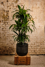 Load image into Gallery viewer, Dracena Fragrans (Local Delivery or Click & Collect Only)