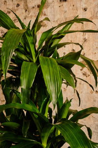 Dracena Fragrans (Local Delivery or Click & Collect Only)