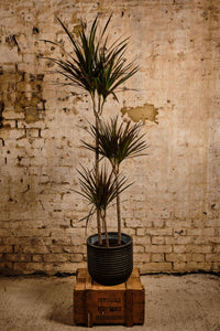 Dracena Marginata (Local Delivery or Click & Collect Only)