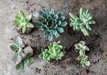 Load image into Gallery viewer, Box of Mixed Succulents