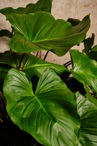 Homalomena Rubescens 'Maggy' (Local Delivery or Click & Collect Only)