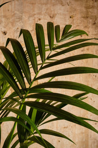 Howea Forsteriana (Local Delivery or Click & Collect Only)