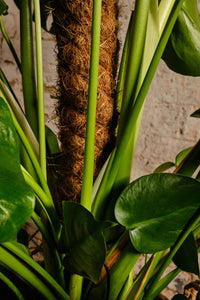 Monstera Deliciosa (Local Delivery or Click & Collect Only)