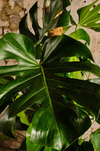 Load image into Gallery viewer, Monstera Deliciosa (Local Delivery or Click & Collect Only)