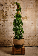 Load image into Gallery viewer, Philodendron Scandens (Local Delivery or Click & Collect Only)
