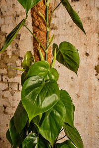 Philodendron Scandens (Local Delivery or Click & Collect Only)
