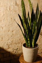 Load image into Gallery viewer, Sansevieria Trifasciata