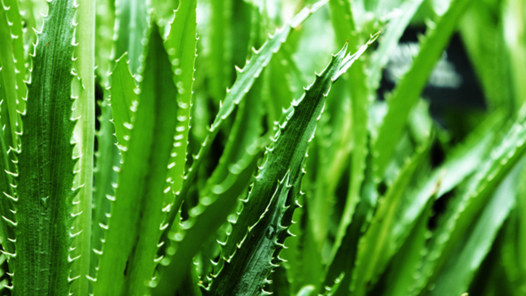 The Potent Power of Aloe Vera & Aloe Vera Gel used by the ancient Egyptians