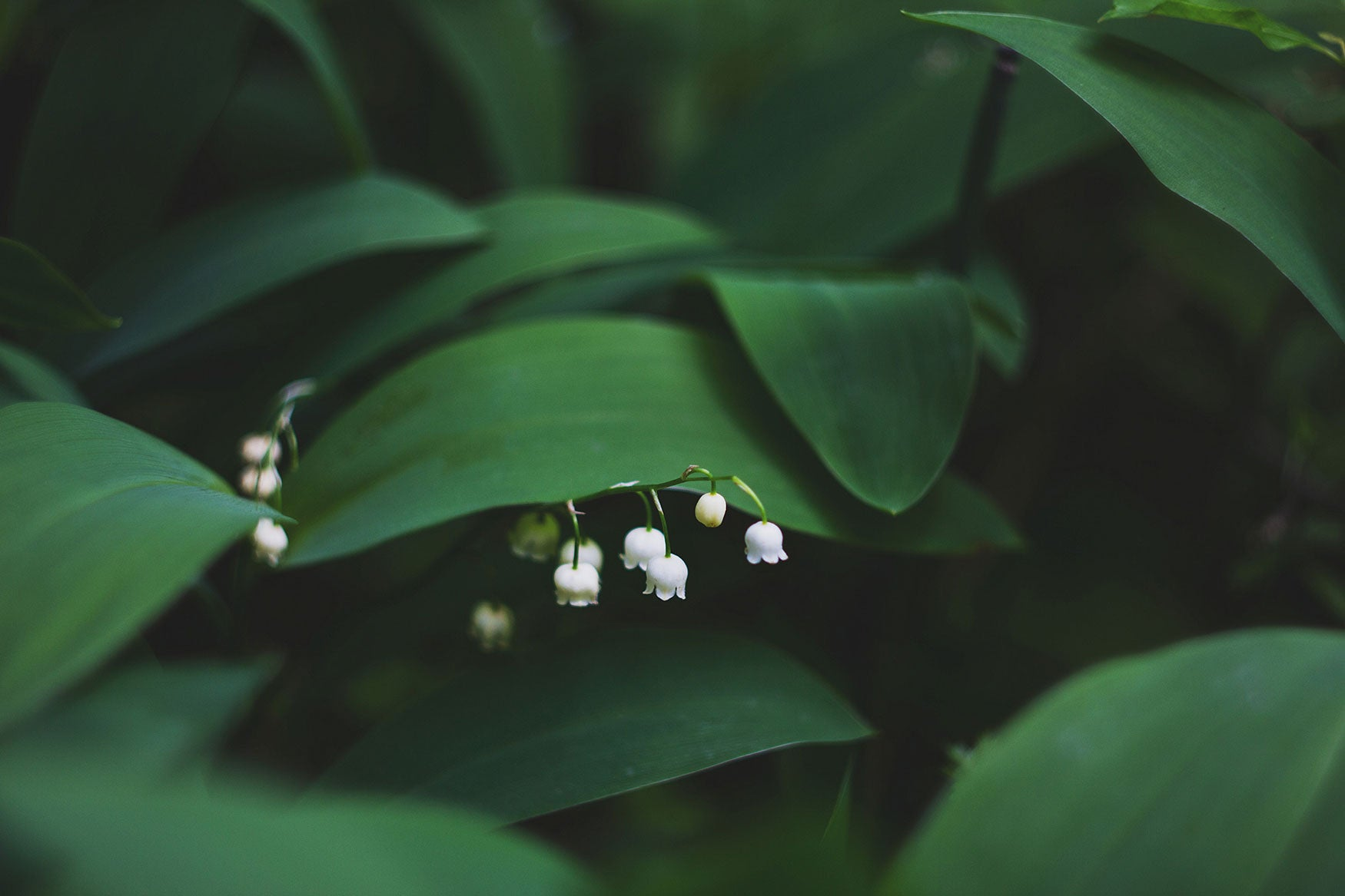 Lily of the Valley - Histoires de Parfums
