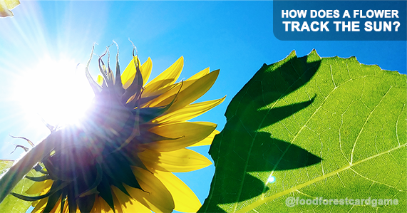 How Does a Sunflower Track the Sun?
