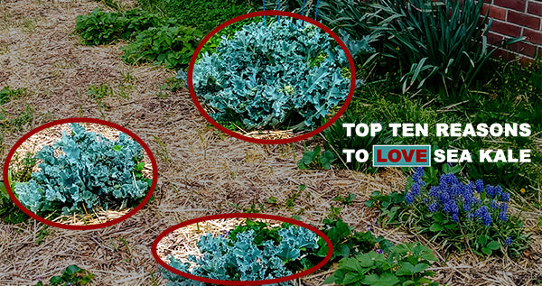 Top 10 Reasons to Love Sea Kale