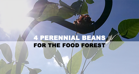4 Perennial Beans for the Food Forest