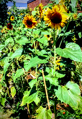 Sunflowers at school food forest garden