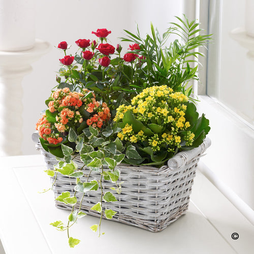 Kalanchoe and Rose Trug
