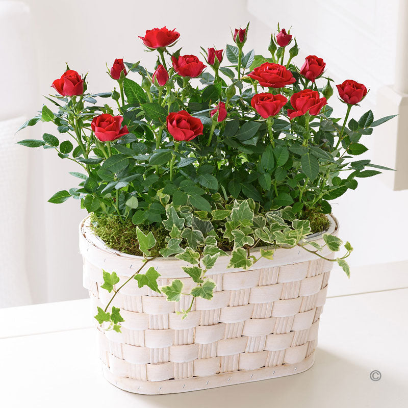 Classic Rose Plant - Red