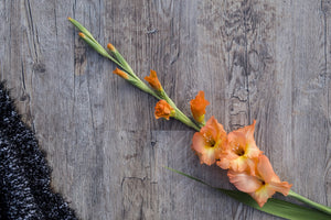 August Spotlight: The Glorious Gladiolus