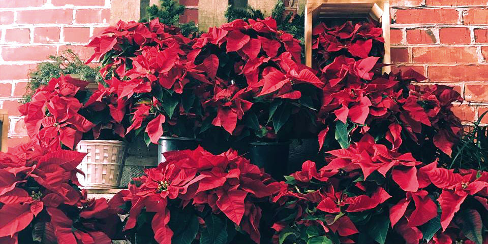 GET TO KNOW THIS CLASSIC HOLIDAY PLANT: THE POINSETTIA