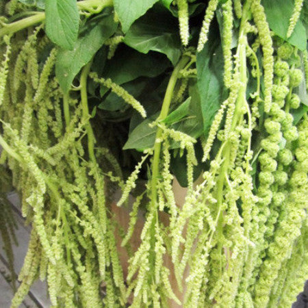 Hanging Amaranthus (2-3 days for delivery)