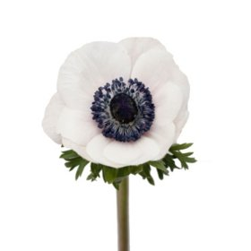 Anemone (Please Call for Availability)