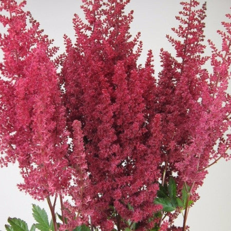 Astilbe (2-3 days for delivery)