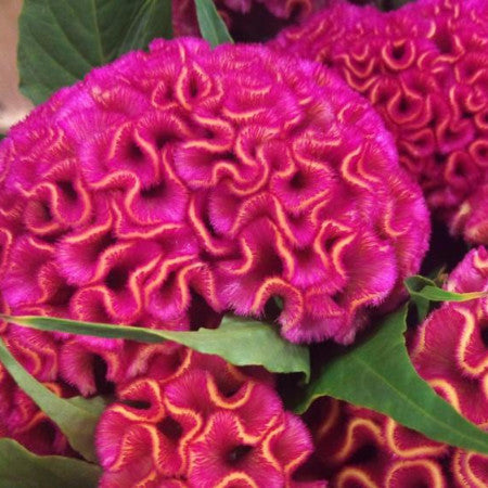Celosia (Book 7 Days In Advance)