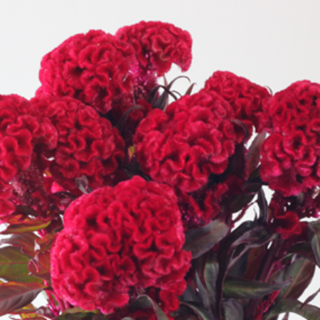 Celosia (2-3 days for delivery)