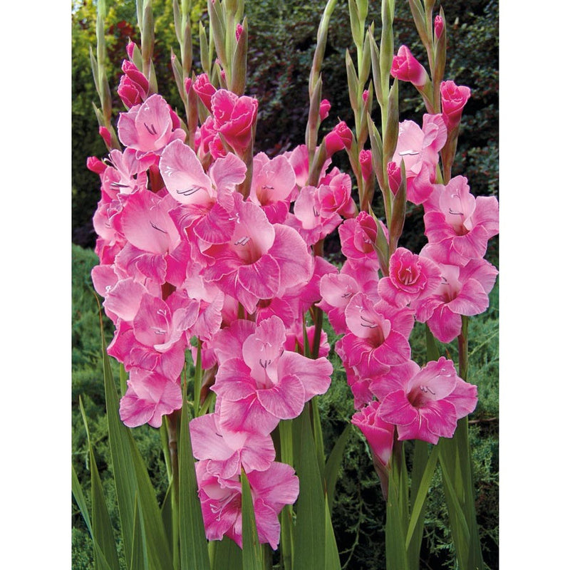 Gladiolas (2-3 days for delivery)