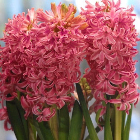 Hyacinth (2-3 days for delivery)