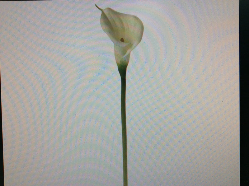 Calla Lily Open Cut Single Stem