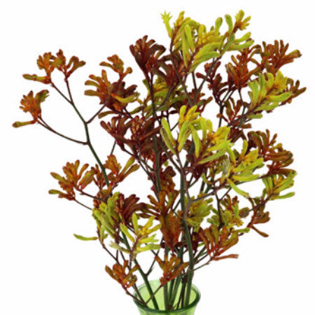 Kangaroo Paw (2-3 days for delivery)