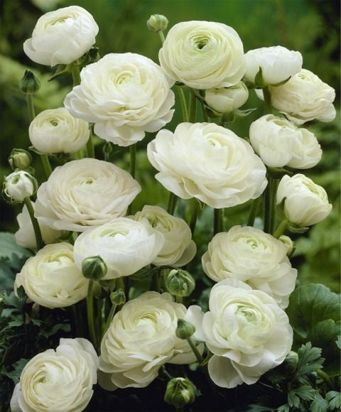 Ranunculus (Allow 3-4 days when Ordering)