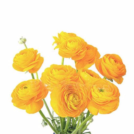 buy ranunculus | wholesale bulk flowers | miami flower market