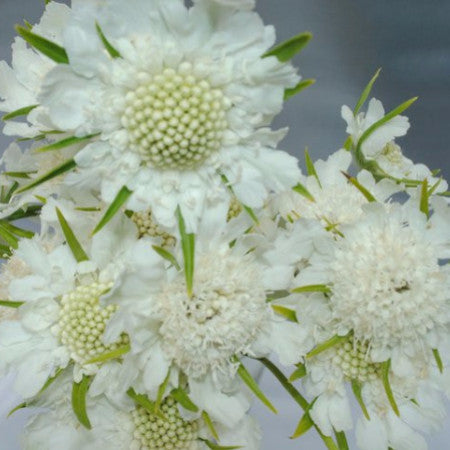 Scabiosa (2-3 days for delivery)