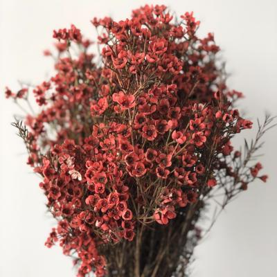 Waxflower (2-3 days for delivery)