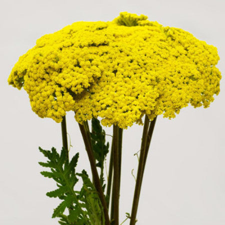Yarrow (2-3 days for delivery)