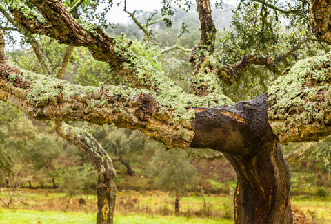 Cork Oak Tree - Where Cork Comes From - Cork Tree
