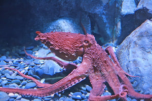 Facts About the Octopus Habitat And It's Food