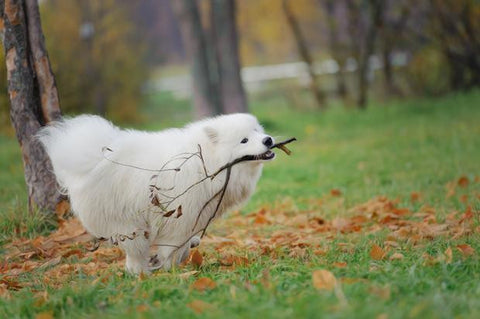 What diseasedoesthe Samoyed often catch_2