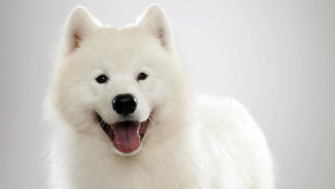 What diseasedoesthe Samoyed often catch?